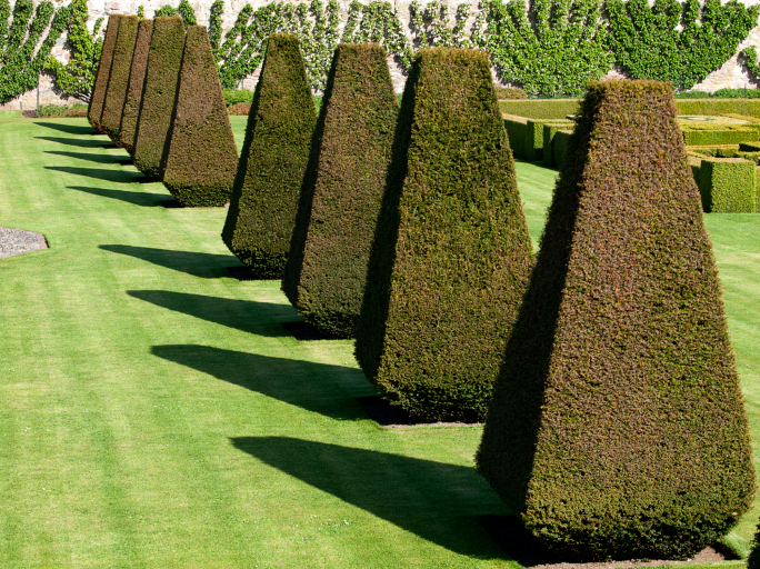 Long line of cone topiary trees