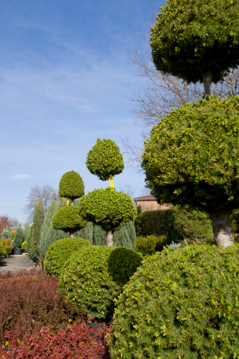 Garden of topiary ball trees