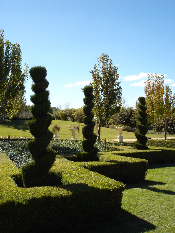 Spiral topiary trees with low sculpted hedge