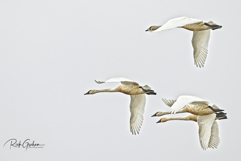 swan, tundra swan, tundra swan photos, swan photos, Utah wildlife, Utah birds, birding in Utah, Bear River Migratory Bird Refuge