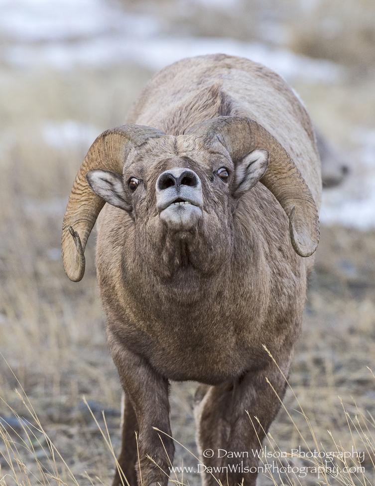 bighorn sheep, bighorn sheep photos, bighorn sheep images, National Elk Refuge