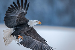 bald eagle, bald eagle photos, bald eagle images, british columbia wildlife, british columbia wildlife photos, british columbia birds, birds in canada, bald eagles in canada, bald eagles in british columbia, bald eagle fishing