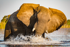 elephant, african elephant, elephant photos, african elephant photos, Botswana wildlife, Botswana wildlife photos, africa wildlife photos, africa wildlife, african safari photos, Pelo wildlife, Pelo wildlife photos, Pelo Camp