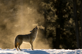 Grid howling coyote 1