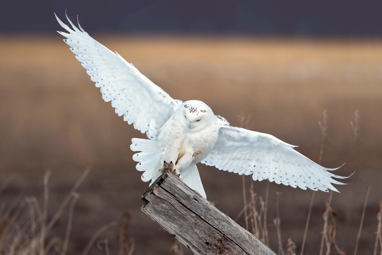 snowy owl, snowy owl photos, owl, owl photos, birds in Canada, owls in Canada, snowy owls in Canada, Canada wildlife, Ontario birds, Ontario wildlife, birding in Canada, Canada birding, Canada owls