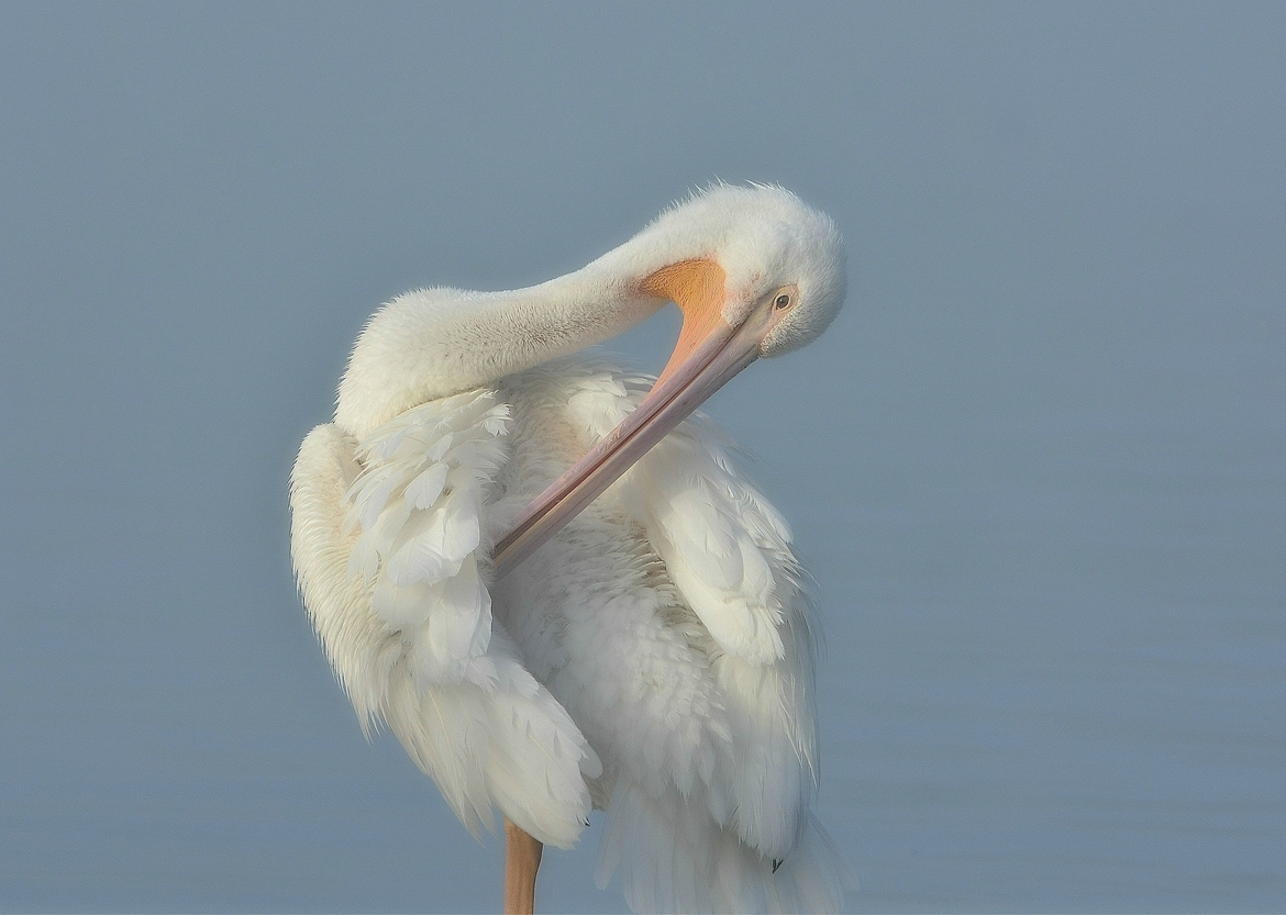 pelican, pelican photos, american white pelican, american white pelican photos, California birds, California wildlife, birds in California, birds in the US, Lake Balboa, Van Nuys