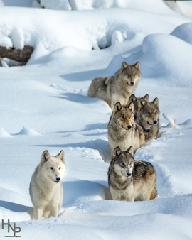 wolf, wolf photos, wolves, photos of wolves, wolves in Yellowstone, Yellowstone wolves, Yellowstone wolf packs, wolf packs in Yellowstone, Wapiti Lake, Wapiti pack, Wapiti Lake pack