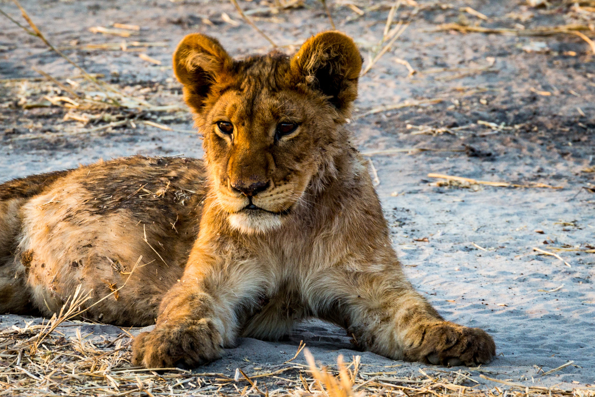 lion, lion photos, lion cub, lion cub photos, botswana wildlife, botswana wildlife photos, africa wildlife, africa wildlife photos, lions in botswana, photos of lions in botswana, botswana safari, botswana safari photos, gomoti camp, gomoti camp wildlife