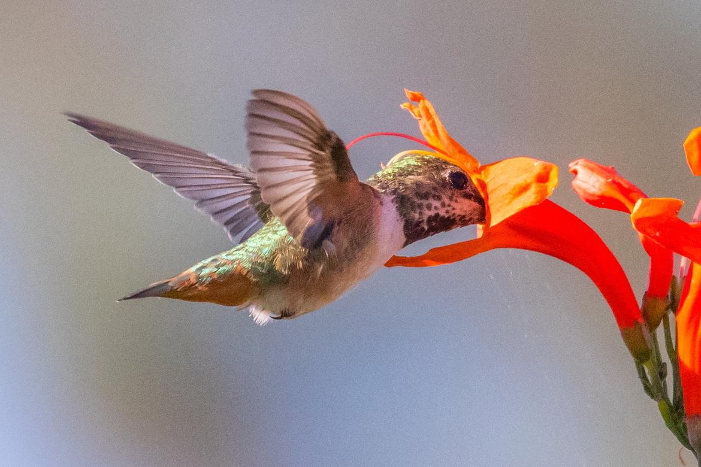 hummingbird, humming bird images, humming bird photos, united states wildlife, united states birds, american hummingbirds, California birds, California wildlife, Allen's hummingbird, Allen's hummingbird photos
