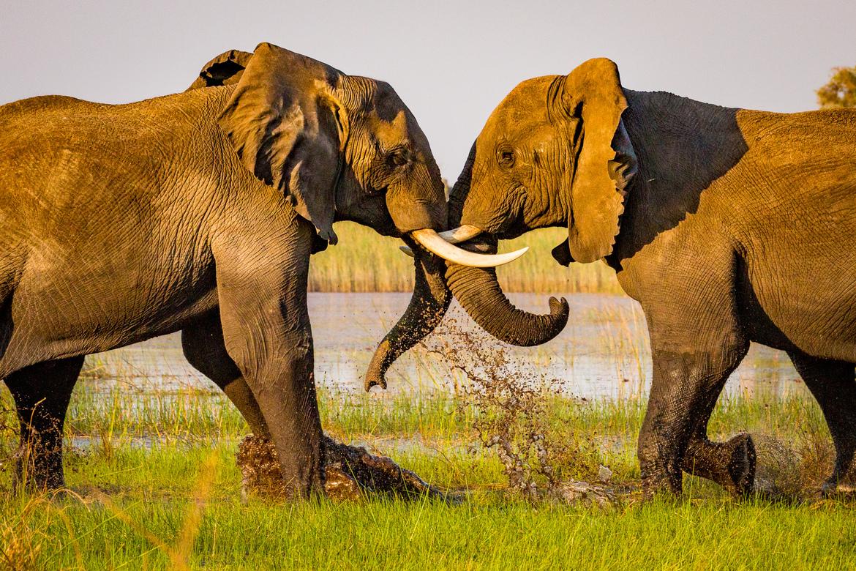 elephant, african elephant, elephant photos, african elephant photos, Botswana wildlife, Botswana wildlife photos, africa wildlife photos, africa wildlife, african safari photos, Pelo Camp wildlife, Pelo Camp wildlife photos, Pelo Camp