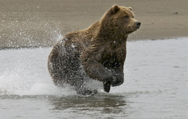 brown bear, grizzly bear, brown bear photos, grizzly bear images, grizzly fishing, united states wildlife photos, Alaska wildlife, Alaska bears, Alaska photos, Lake Clark National Park, Lake Clark National Park wildlife