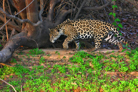 Jaguar, big cat, Brazil, Pantanal, Brazil photography, jaguar photography