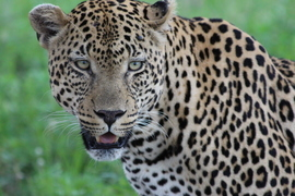leopard, leopard photos, leopard images, south africa wildlife, south africa wildlife photos, south africa safari, south africa safari photos, african safari photos, african cats, leopards in africa, leopards in south africa, mala mala, mala mala wildlife