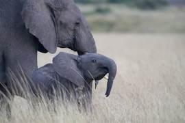 elephant, african elephant, elephant photos, african elephant photos, kenya wildlife, kenya wildlife photos, africa wildlife photos, africa wildlife, african safari photos, rift valley province, rift valley wildlife, baby elephant, baby elephant photos