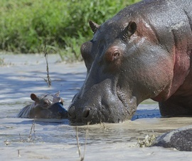 hippo, Hippopotamus, hippo photos,  Hippopotamus photos, Tanzania wildlife, Tanzania wildlife photos, Ngorongoro wildlife, Ngorongoro wildlife photos, African safari, African safari photos, Tanzania safari, Ngorongoro Crater