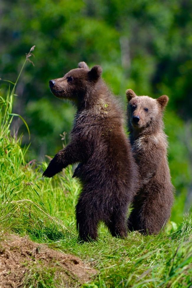 brown bear, grizzly bear, brown bear photos, grizzly bear images, grizzly cub, brown bear cub, grizzly fishing, Katmai National Park, Katmai National Park wildlife, united states wildlife photos, Alaska wildlife, Alaska bears, Alaska photos