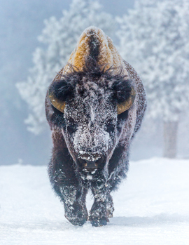 bison, bison photos, bison images, buffalo, buffalo photos, buffalo images, yellowstone wildlife, yellowstone wildlife images, united states wildlife, winter yellowstone