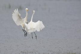egret, egret photos, Sri Lanka wildlife, Wilpattu wildlife, Sri Lanka birds, Sri Lanka birding, intermediate egret, intermediate egret photos