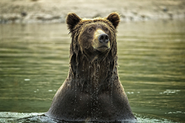 Grid grizzly boar emerging from water d8u6542