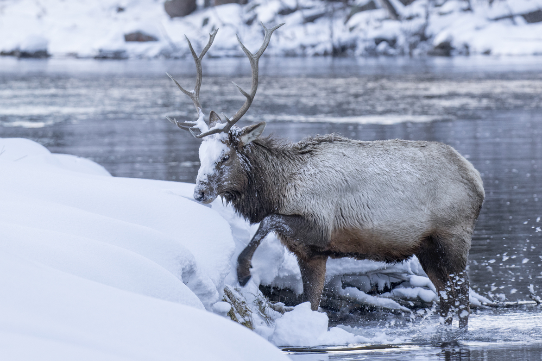 elk, elk photos, elk pictures, waputi, Yellowstone National Park, Yellowstone National Park wildlife, elk in Yellowstone National Park, US wildlife, Montana wildlife