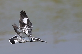 Grid 366deb pied kingfisher