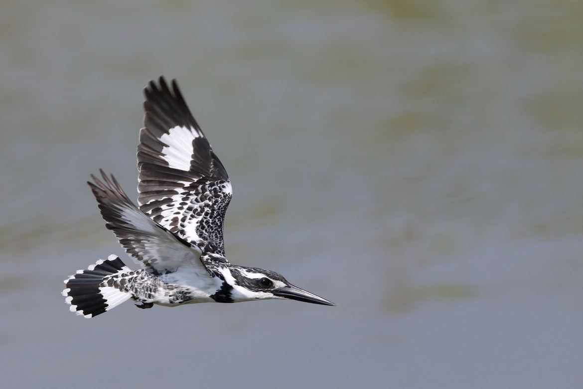pied kingfisher, pied kingfisher photos, kingfisher, Sri Lanka wildlife, Sri Lanka birding, Sri Lanka wildlife photos