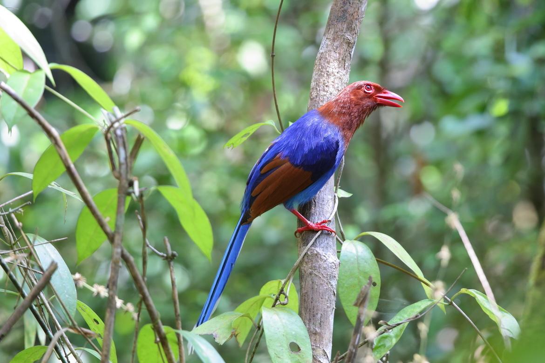 magpie, magpie photos, Sri Lanka blue magpie, Sinharaja Forest Reserve, Sinharaja Forest Reserve wildlife, birding in Sri Lanka, Sri Lanka birds, birds in Sri Lanka