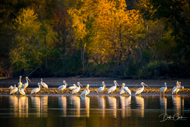 white pelican, white pelican photos, american white pelicans, american white pelican photos, photos of pelicans, Tennessee wildlife, birding in Tennessee, Hiwassee River