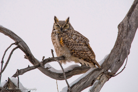owl, owl photos, horned owl, horned owl photos, united states wildlife, united states wildlife photos, birds in Montana, owls in Montana