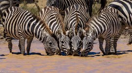 zebra, zebra images, zebra photos, tanzania wildlife, tanzania wildlife images, tanzania wildlife photos, zebras in tanzania, african safari wildlife, tanzania safari wildlife, tanzania safari wildlife photos, serengeti national park, serengeti wildlife