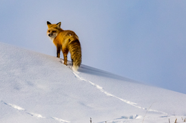red fox, red fox photos, red fox images, wildlife in the US, united states wildlife, united states wildlife photos, us wildlife photos, wildlife in Yellowstone National Park, foxes in Yellowstone National Park