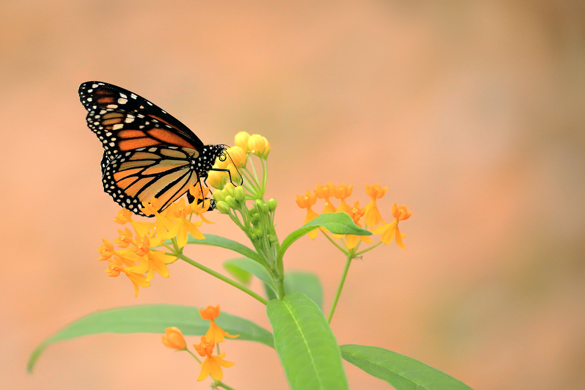 monarch butterfly, monarch butterfly photos, US wildlife, monarchs in the US, monarch migration, Monarchs in Florida