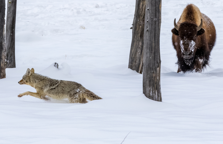 bison, bison photos, bison images, buffalo, buffalo photos, buffalo images, yellowstone wildlife, yellowstone wildlife images, united states wildlife, winter yellowstone, coyote, coyote photos, coyotes in Yellowstone