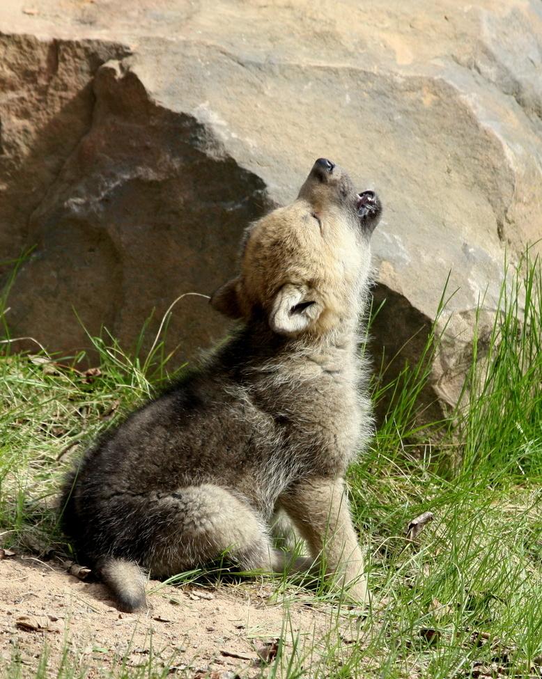 wolf, wolf photos, wolf cub, wolf cub photos, wolves in Minnesota, wolf cubs in Minnesota, wolves howling, wolf cub howling
