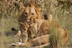 lion, lion photos, lion cub, lion cub photos, Uganda wildlife, Uganda wildlife photos, africa wildlife, africa wildlife photos, lions in Uganda, photos of lions in Uganda, Uganda safari, Uganda safari photos, africa safari, Murchison Falls National Park