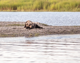 brown bear, grizzly bear, brown bear photos, grizzly bear images, Brooks Falls, Brooks Falls wildlife, united states wildlife photos, Alaska wildlife, Alaska bears, Alaska photos