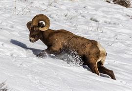 big horn sheep, yellowstone national park, big horn sheep photos, big horn sheep images, yellowstone national park wildlife photos, US wildlife, US wildlife photos