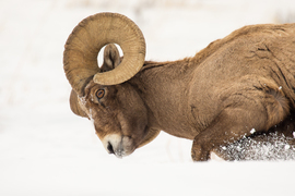 bighorn sheep, rams, bighorn sheep photos, ram photos, Yellowstone wildlife, Yellowstone National Park