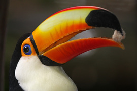 Toucan, Brazil, Pantanal, Brazil photography, bird photography