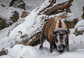 bison, bison photos, bison images, buffalo, buffalo photos, buffalo images, yellowstone wildlife, yellowstone wildlife images, united states wildlife, winter yellowstone