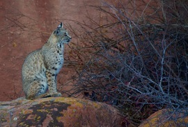 bobcat, bobcat photos, red rocks park, red rocks amphitheater, bobcats in Colorado, bobcats in the US
