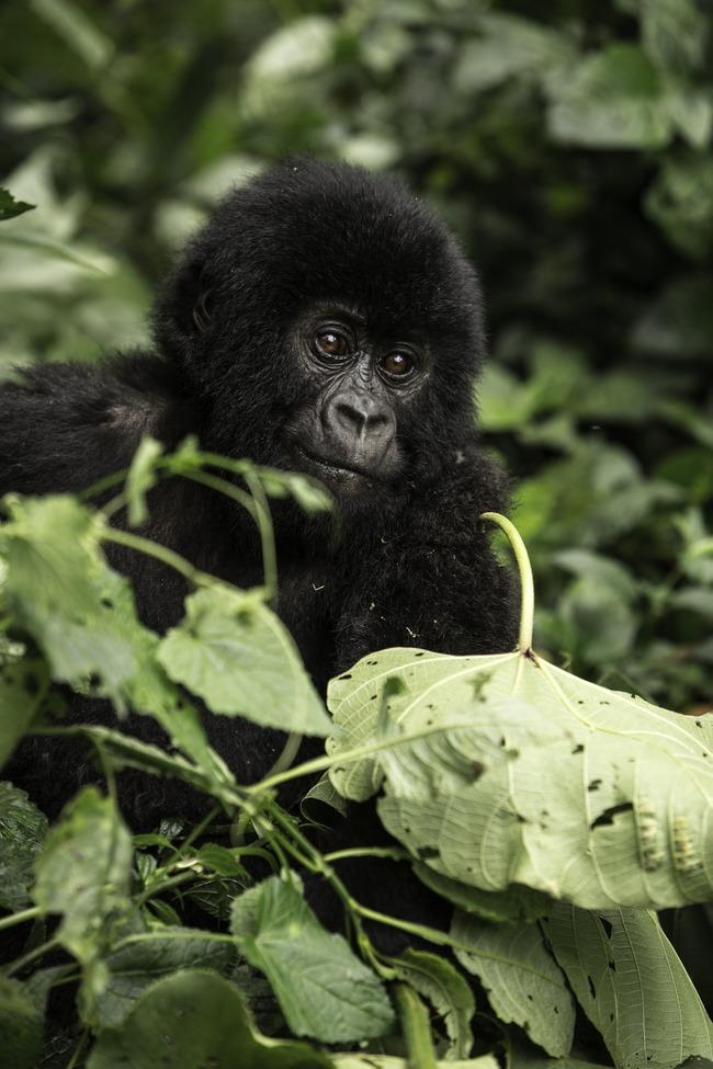 mountain gorilla, mountain gorilla photos, Virunga Mountains, gorillas in Virunga Mountains, DRC mountain gorillas, DRC wildlife, Virunga wildlife, Congo wildlife
