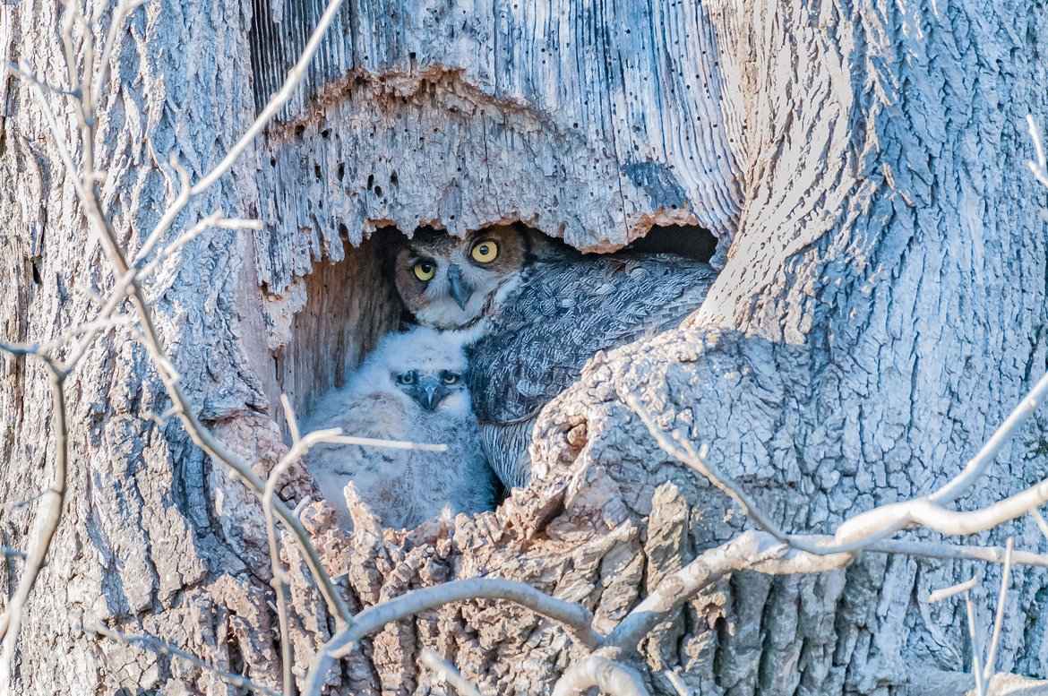 great horned owl, great horned owl photos, Pennsylvania wildlife, Pennsylvania birds, Ephrata Park, baby owls, baby great horned owl