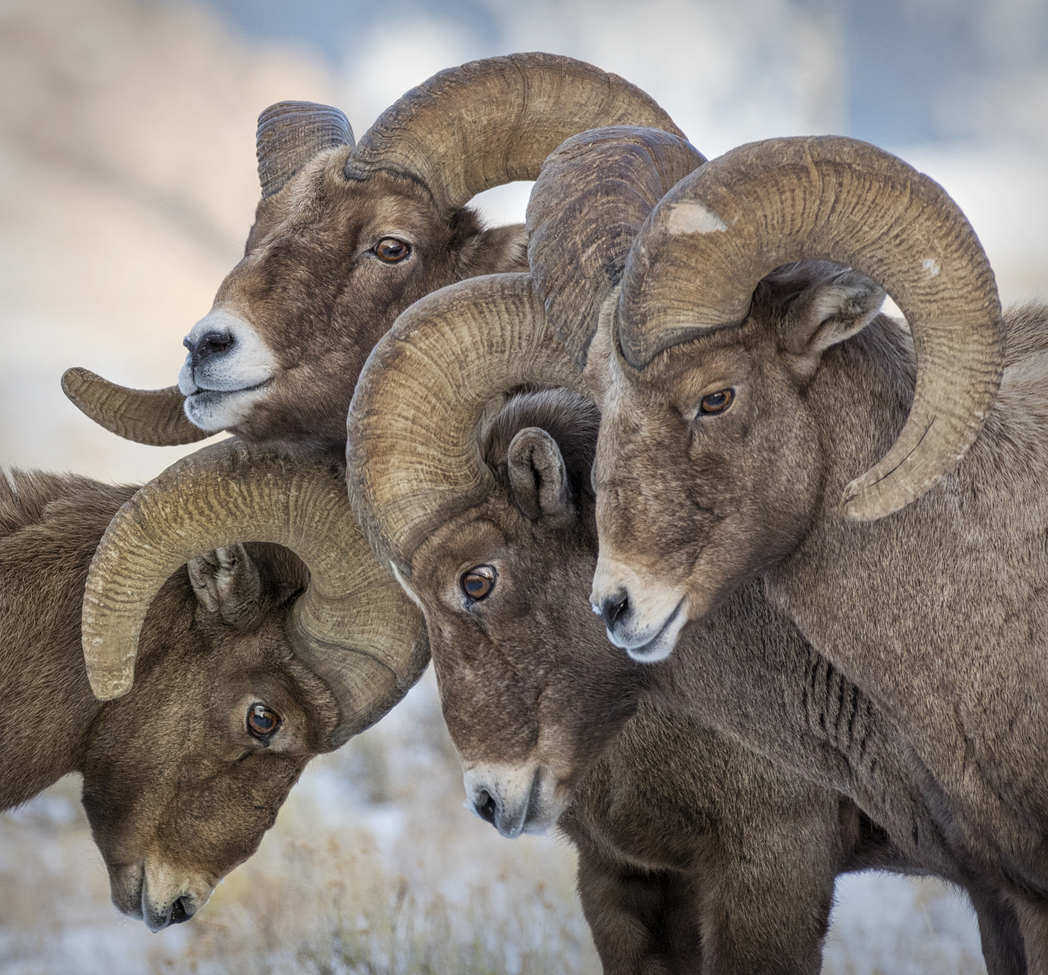 bighorn sheep, bighorn sheep photos, bighorn sheep images, national elk reserve, national elk reserve wildlife, Wyoming wildlife, Jackson Hole wildlife