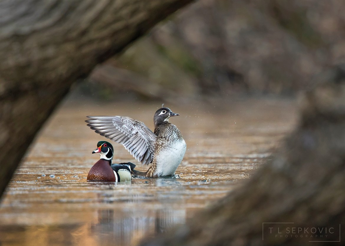 wood duck, wood duck photos, Pennsylvania ducks, Pennsylvania wildlife, birds in Pennsylvania, birding in Pennsylvania