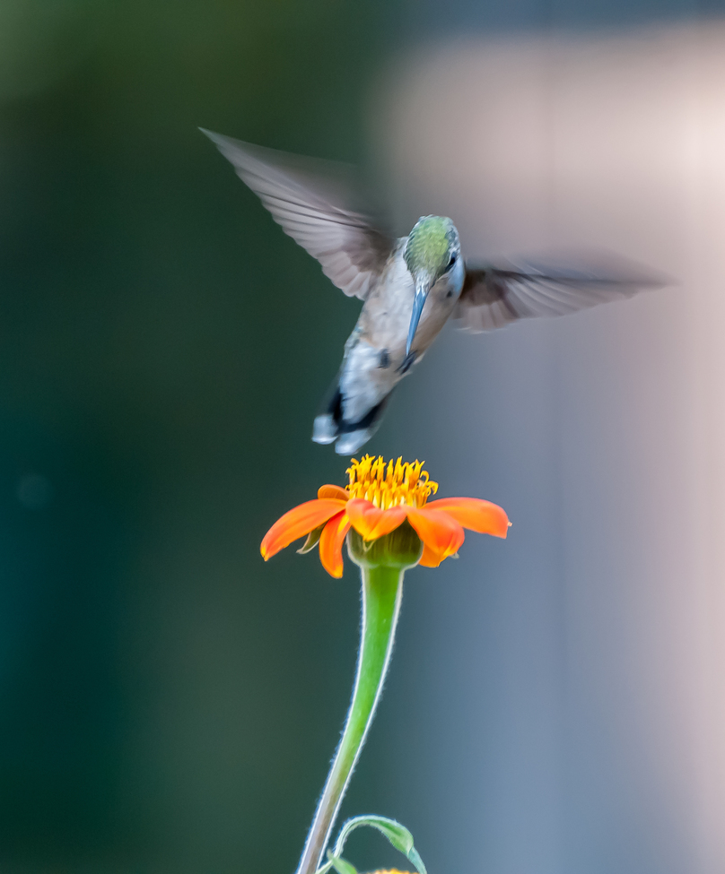 hummingbird, hummingbird images, hummingbird photos, united states wildlife, united states birds, american hummingbirds, Pennsylvania birds, Pennsylvania wildlife, ruby throated hummingbird, ruby throated hummingbird photos, birding in Pennsylvania