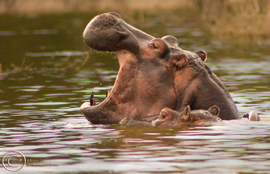 hippo, Hippopotamus, hippo photos,  Hippopotamus photos, Kenya wildlife, Kenya wildlife photos, Hell's Gate National Park wildlife, Hell's Gate National Park wildlife photos, African safari, African safari photos, Kenya safari, Hell's Gate National Park