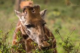 giraffe, giraffe photos, african giraffe, wild giraffe, hell's gate national park, african safari, Kenya, Kenya wildlife, Kenya photos
