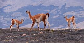 Guanaco, Patagonia, Argentina, Torres del Paine National Park