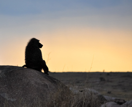 baboon, baboon photos, sunset, sunset photos, baboon in Tanzania, Tanzania wildlife, Tanzania wildlife photos, africa safari photos, africa safari, Tanzania safari, Tanzania safari photos, Serengeti, Serengeti wildlife, Serengeti wildlife photos